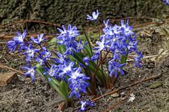BS, Botanischer Garten (angeschaut) Tags: 2019 bs braunschweig botanischer garten natur blumen frühling