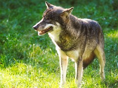 Wolf im Gras -  1. Oktober 2017 - Schleswig-Holstein - Deutschland (torstenbehrens) Tags: olympus penf mc revueon 200mm f35 m42 wolf im gras 1 oktober 2017 schleswigholstein deutschland
