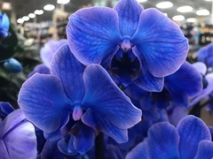 86/365/8 (f l a m i n g o) Tags: project365 365days march 20th 2019 wednesday flower orchid blue store