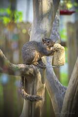 Finally! (Mayra Galland) Tags: squirrel feeder feeding animals nature spring texas