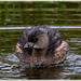 Pied-billed Grebe__11A5943 (skippyanne) Tags:
