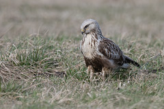 Rough-legged Buzzard (JS_71) Tags: nature wildlife nikon photography outdoor 500mm bird new winter see natur pose moment outside animal flickr colour poland sunshine beak feather nikkor d500 wildbirds planet global national wing eye watcher