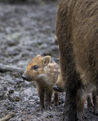 Wildschwein - Frischling / Wild boar (uwe125) Tags: springe wisentgehege boar wild animal frischling wildschwein säugetier tier