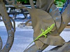 Florida Lizard on Leaf Sculpture (glenn2meyer) Tags: gecko lizard florida pinellas county nature leaf sculpture botanical gardens sony cybershot sonyflickraward reptile