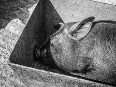 Pig in a Trough (amipal) Tags: animal ashdownforest england farm gb greatbritain llamacentre nature pig spring sussex uk unitedkingdom