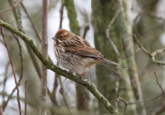 0M2A2481 Reed Bunting female (kevin_livesey) Tags: reed bunting bird birdwatching rspb leighton moss nature wildlife