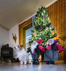 Sara. Merry Christmas! 51/52 (Tõnno Paju) Tags: sara 52weeksfordogs animal pet dog jack russell terrier nikon sigma christmas tree christmastree