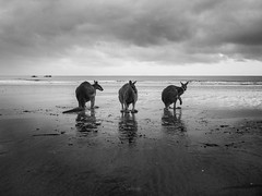 Sunset wallabies (Cositos :)) Tags: mackay cape hillsborough queensland australia cangaroo wallaby sunrise beach summer fauna wild animal fight reflection shore nature reserve canguro pelea playa amanecer olympus omd em10