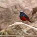 White-capped Redstart (Chaimarrornis leucocephalus)