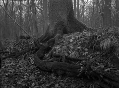 strong roots 2 (salparadise666) Tags: nagaoka 4x5 schneider symmar 135mm orange filter fomapan 200160 caffenol cl 1h semistand nils volkmer large format view analogue film camera landscape nature bw black white monochrome horizontal roots tree hannover lower saxony germany