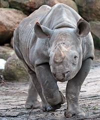 black rhino Blijdorp 094A1222 (j.a.kok) Tags: animal blijdorp mammal dier rhino rhinoceros zoogdier zwarteneushoorn blackrhinoceros blackrhino puntlipneushoorn neushoorn mara
