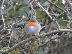 Robin (Simply Sharon !) Tags: robin bird gardenbird wildlife britishwildlife nature thryberghcountrypark january