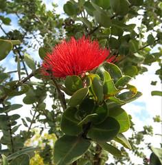 ʻŌhiʻa lehua ʻula (D.Eickhoff) Tags: metrosiderospolymorpha metrosideros polymorpha ʻōhiʻa ʻōhiʻalehua ʻōhiʻalehuaʻula red ʻula pua lehua myrtaceae hawaiianislands oʻahu hawaiian hawaii lei plant tree foliage outdoor flower taxonomy:binomial=metrosideros