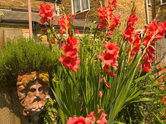 040710 grove garden gladioli_2013 (hoffman) Tags: flowers garden davidhoffman wwwhoffmanphotoscom british daylight england flora floral growing growth home horticulture nature outdoors plant gladioli uk
