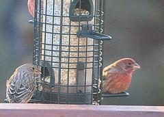 Birds on the Deck (hbickel) Tags: birdfeeder bird backyard birds canont6i canon photoaday pad