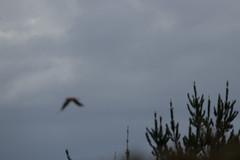 IMG_4412 (armadil) Tags: prairie ranchocorraldetierra bird birds kestrel americankestrel flying