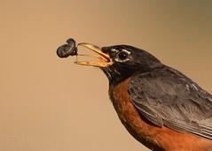 American Robin (T L Sepkovic) Tags: americanrobin robin thrush songbird bird canon 5dmkiv teamcanon pawildlife wildlifephotography action