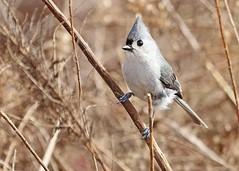 Tufted Titmouse (hennessy.barb) Tags: baeolophusbicolor tuftedtitmouse bird nature wildlife outdoors wild hardy alert barbhennessy