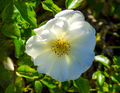 A Light Touch (Steve Taylor (Photography)) Tags: green white yellow brown newzealand nz southisland canterbury christchurch northnewbrighton flower rose petals leaves summer sunny sunshine