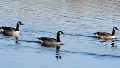 DSCN8327 oiseau aquatique 13 (lac oie bernache du Canada nage groupe) Montesson (jeanchristophelenglet) Tags: montessonfranceparcdépartementaldelaboucledemontessonétangdel'epinoche laceau lakewater lagoagua oiebernacheducanada canadagoose gansocanadense