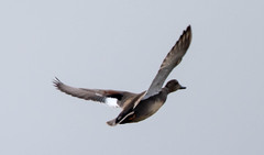7K8A1091 (rpealit) Tags: scenery wildlife nature edwin b forsythe national refuge brigantine gadwall duck burd