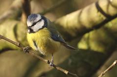 Blue tit (hedgehoggarden1) Tags: bluetit bird wildlife creature animal rspb sonycybershot norfolk eastanglia uk sony birds trees branches