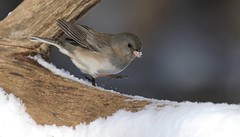 Dance Like Nobody's Watching (Slow Turning) Tags: juncohyemalis darkeyedjunco female bird perched tree branch log snow movement moving motion winter southernontario canada