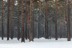 Winter evening in Zenkovsky park in Siberia (man_from_siberia) Tags: winter january siberia zenkovskypark trees coldweather snow park russia сибирь россия зенковскийпарк зима январь деревья снег 2019 canon eos 200d dslr canoneos200d canon200d canonrebelsl2 tamron tamronspaf1750mmf28xrdiiild tamron1750mmf28