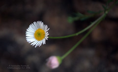 Abhinandan to Abhinandan (Anuradha Nautiyal) Tags: abhinandan iaf jaihind indianairforce chamomile flower flora chikkamagalur karnataka india nikon nikond90
