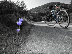 Anemone on the road (panoskaralis) Tags: anemone purple flowers wildflowers plants wildplants nature biking bikes idealbikes cycling road roadtrip roadsign blackandwhite blackwhite lesvos lesvosisland mytilene greece greek hellas hellenic greekisland greeknature outdoor landscape nikoncoolpixb700 nikon nikonb700