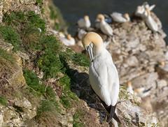 Bempton Gannet (Steve (Hooky) Waddingham) Tags: stevenwaddinghamphotography animal coast bird sea fish flight planet wild wildlife