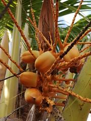 Yellow Coconuts (Toni Kaarttinen) Tags: usa unitedstates florida wpb america lakeworth lw palmbeachcounty palm palms palmtree coconuts