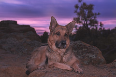 Liesl (Cruzin Canines Photography) Tags: animal animals canon canoneos5ds canon5ds canine 5ds eos5ds dog dogs pet pets gsd germanshepherd portrait sunrise morning cute pretty female mammal palmerpark colorado coloradosprings outdoors nature liesl