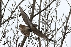 Red-Tailed Hawk (kearneyjoe) Tags: redtailedhawk whitby