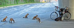 The Foxes and Me (marylee.agnew) Tags: vulpes red foxes woman bike city outdoor family friends wildlife photographer self nature urban cement