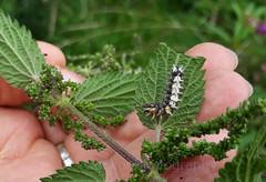 Comma caterpillar, Polygonia c-album (Geckoo76) Tags: insect butterfly caterpillar commacaterpillar polygoniacalbum