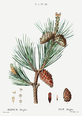 Creeping pine (Pinus mugho) illustration from Traité des Arbres (Free Public Domain Illustrations by rawpixel) Tags: freeimage pierre redoute redouté antique arts beautiful blossom botanical botany cc0 creativecommons0 creeping cultivation decoration drawing element engraved environment fineart floral flower graphic historic historical history houseplant illustration joseph mugho mugo name nature painting pierrejosephredouté pine pinus plant publicdomain retro sketch sketching spring traitédesarbresetarbustes tree tropical vintage