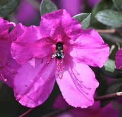 0B6A1635 (Bill Jacomet) Tags: azalea azaleas flower flowers houston tx texas 2019