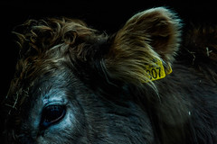 Stare (stahlgewittern_) Tags: shadows cow nature naturephotography animal animalphotography rock ancient old black fur cold eyes stare yellow brown emptiness