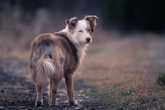 Evening walk (matthiasstiefel) Tags: australianshepherd aussie sina female nikon d500