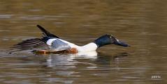 Northern Shoveler (jt893x) Tags: 150600mm bird d500 drake duck jt893x male nikon nikond500 northernshoveler shoveler sigma sigma150600mmf563dgoshsms spatulaclypeata thesunshinegroup alittlebeauty coth coth5