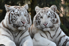 White tigers - Zoo Amneville (Mandenno photography) Tags: animal animals dierenpark dierentuin dieren white whitetiger tiger tigers tijgers amneville zooamneville zoo france frankrijk nature natgeo natgeographic ngc bigcat big cat cats