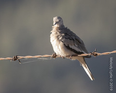 Picui Ground-Dove (karenmelody) Tags: animal animals bird birds chile columbidae columbiformes columbinapicui picuigrounddove vertebrate vertebrates dove doves