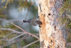 Boreal Chickadee (Laura Erickson) Tags: paridae saxzimbog stlouiscounty borealchickadee birds passeriformes species places minnesota poecilehudsonicus