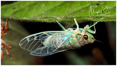 Cicada / Cigarra (Panama Birds & Wildlife Photos) Tags: panama panamawildlife macro macrophotography macrowildlife wildlife wildlifephotography wild wildanimal wildlifephotographer animal animalpic animales animals