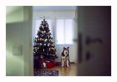 Christmas 2018 - Cinestill 800 (magnus.joensson) Tags: christmas tree dog husky 2018 december fujica st801 zeiss carl jenna ddr 50mm cinestill 800 24x36