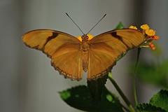 Spring Wings In (ACEZandEIGHTZ) Tags: dryasiulia orange blackstripes nikon d3200 lantana winged flying insect macro closeup butterfly orangejulia bokeh coth5 sunrays5