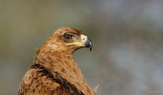 Tawny Eagle - Aquila rapax -4401 (Theo Locher) Tags: birds oiseaux tawnyeagle vogels vögel southafrica zuidafrika kruger krugernationalpark copyrighttheolocher aquilarapax roofarend aigleravisseur savannearend savannenadler