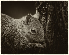 Nick Squirrel (Linton Snapper) Tags: nick squirrel greysquirrel cambridgeshire canon lintonsnapper
