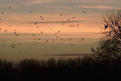 Flying home to roost #2 (MJ Harbey) Tags: birds cormorant silhouette tree sky sunset clouds aves suliformes phalacrocoracidae caldecottelake miltonkeynes buckinghamshire nikon d3300 nikond3300